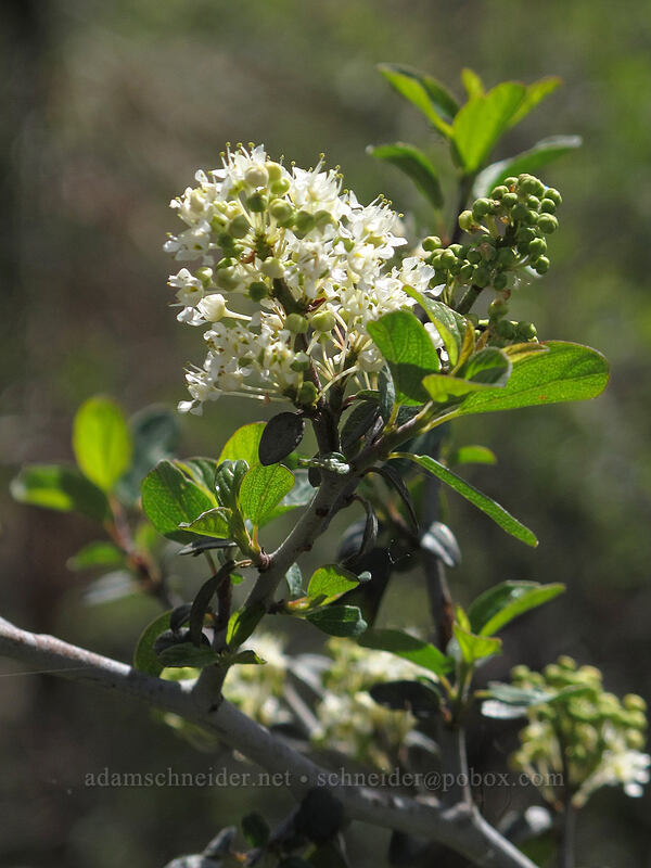 mountain white-thorn (Ceanothus cordulatus) [Thorn Prairie, Umpqua National Forest, Oregon]