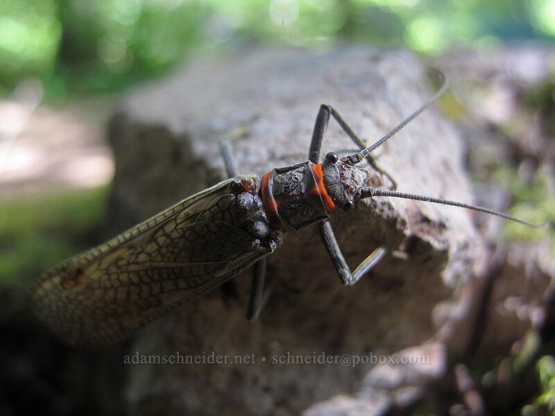 salmonfly (Pteronarcys sp.) [Eagle Rock Campground, Umpqua National Forest, Oregon]