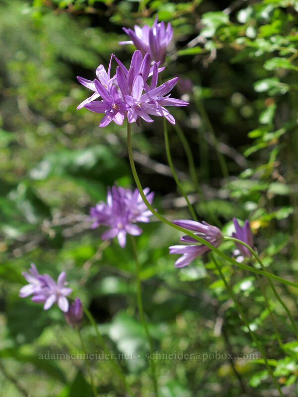 fork-toothed ookow (Dichelostemma congestum) [Job's Garden, Umpqua National Forest, Oregon]