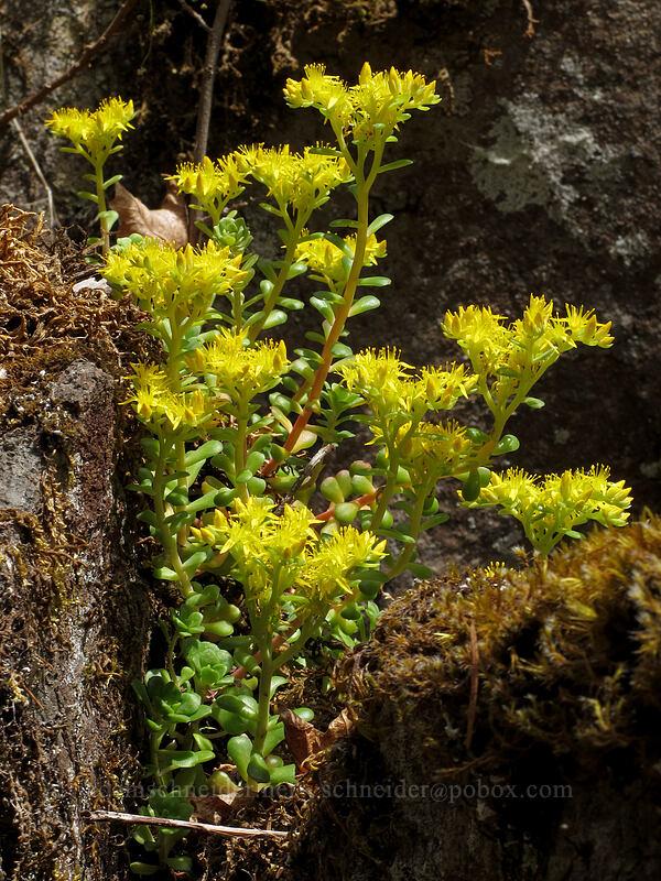 broad-leaf stonecrop (Sedum spathulifolium) [Job's Garden, Umpqua National Forest, Oregon]