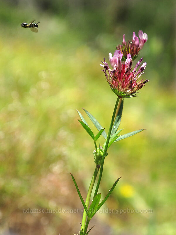 flower fly & tomcat clover (Trifolium willdenovii) [above Susan Creek Falls, BLM Roseburg District, Oregon]