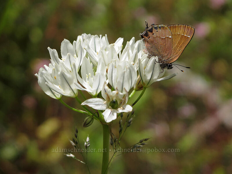 cedar hairstreak butterfly on white brodiaea (Callophrys gryneus, Triteleia hyacinthina) [above Susan Creek Falls, BLM Roseburg District, Oregon]
