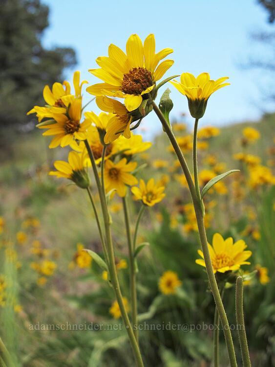 Carey's balsamroot (Balsamorhiza careyana) [Canyon Trail, Smith Rock State Park, Oregon]