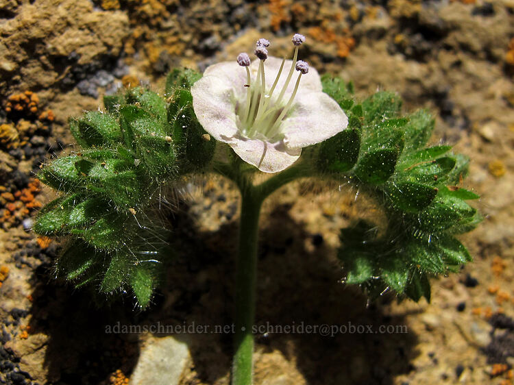 branched phacelia (Phacelia ramosissima) [Cocaine Gully, Smith Rock State Park, Oregon]