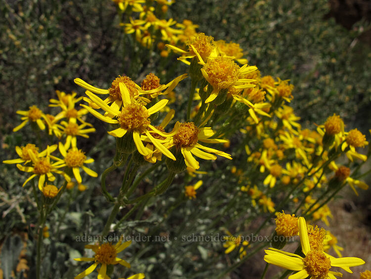 woolly groundsel (Packera cana (Senecio canus)) [Aggro Gully, Smith Rock State Park, Oregon]