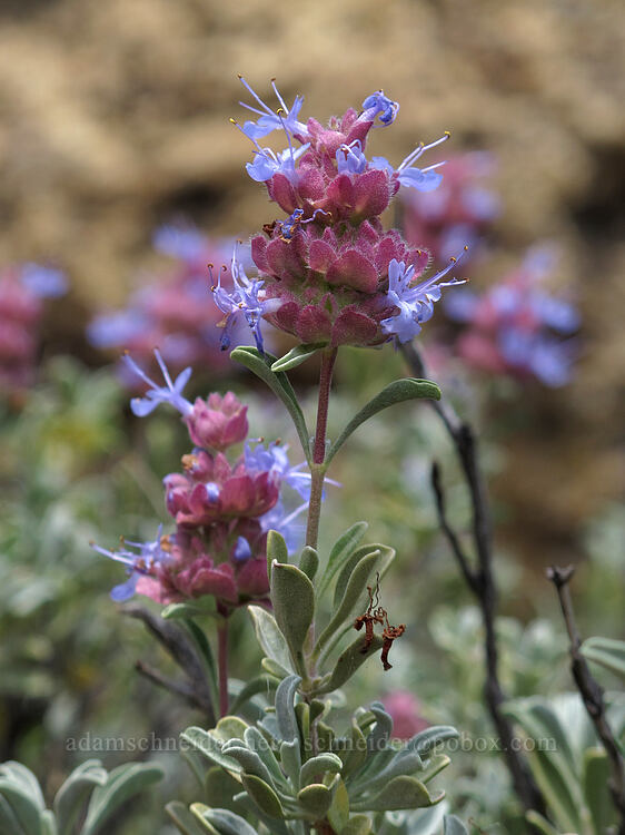 purple sage (Salvia dorrii) [Misery Ridge, Smith Rock State Park, Oregon]