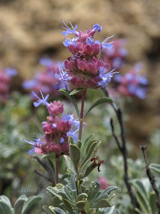 purple sage (Salvia dorrii) [Misery Ridge, Smith Rock State Park, Oregon]