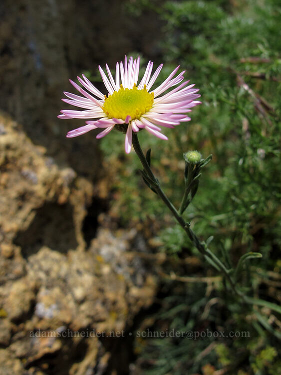 thread-leaf fleabane (Erigeron filifolius) [Misery Ridge, Smith Rock State Park, Oregon]