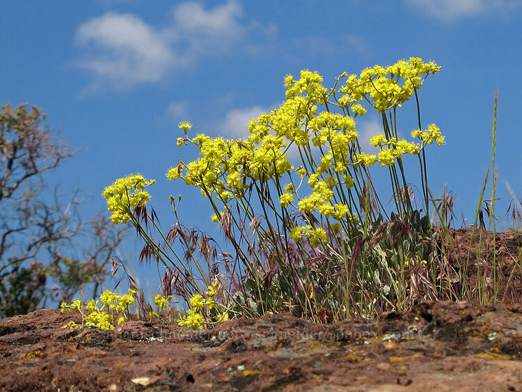 sulphur-flower buckwheat (Eriogonum umbellatum) [Misery Ridge, Smith Rock State Park, Oregon]