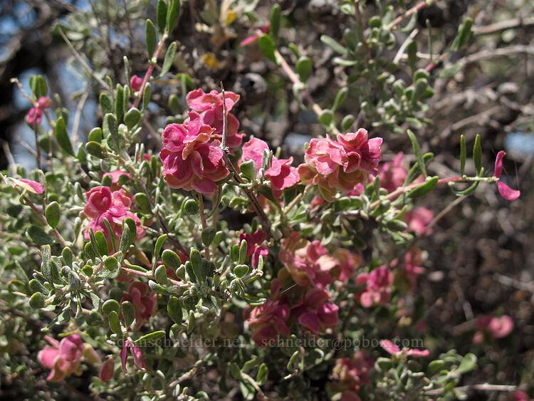 spiny hop-sage, female flowers (Grayia spinosa (Atriplex spinosa)) [Misery Ridge, Smith Rock State Park, Oregon]