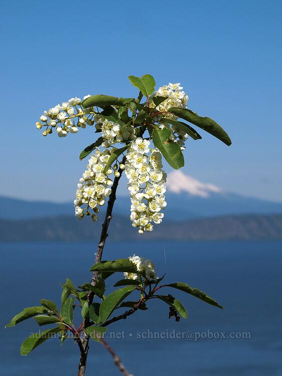 chokecherry flowers & Mt. McLoughlin (Prunus virginiana var. melanocarpa) [Modoc Rim, Fremont-Winema National Forest, Oregon]