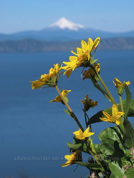 northwest balsamroot (Balsamorhiza deltoidea) [Modoc Rim, Fremont-Winema National Forest, Oregon]