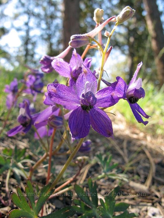 larkspur (Delphinium nuttallianum) [Dry Lakes Flat, Fremont-Winema National Forest, Oregon]