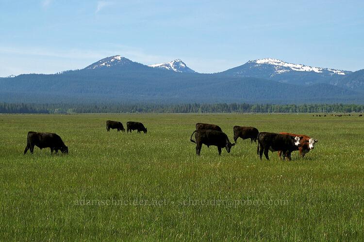 cows & mountains [Nicholson Road, Fort Klamath, Oregon]