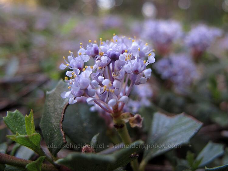 mahala mat (Ceanothus prostratus) [Crystal Springs DUA, Fremont-Winema National Forest, Oregon]