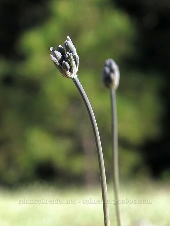cluster-lily, budding (Triteleia sp.) [Crystal Springs DUA, Fremont-Winema National Forest, Oregon]
