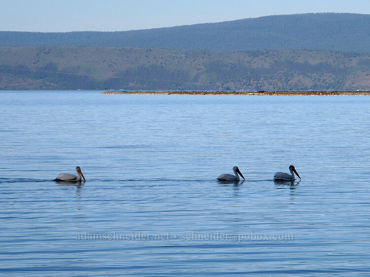 white pelicans on Howard Bay (Pelecanus erythrorhynchos) [Falls Highway, Klamath County, Oregon]