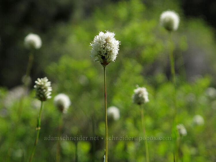 western bistort (Polygonum bistortoides (Bistorta bistortoides)) [Long Prairie Creek, Klamath County, Oregon]