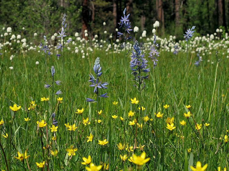 camas, buttercups, & bistort (Camassia quamash, Ranunculus occidentalis, Polygonum bistortoides (Bistorta bistortoides)) [Long Prairie Creek, Klamath County, Oregon]