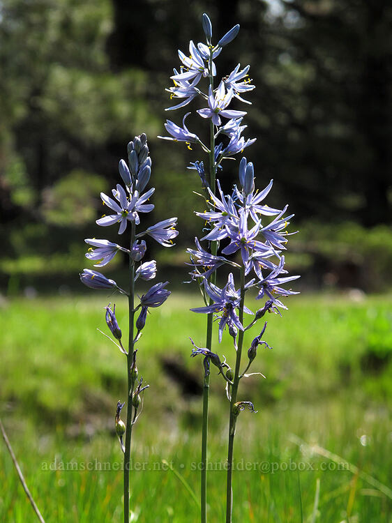 camas (Camassia quamash) [Long Prairie Creek, Klamath County, Oregon]