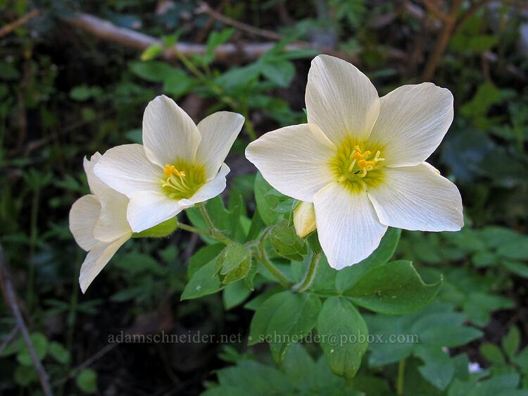 great polemonium (Polemonium carneum) [Soda Mountain Road, Cascade-Siskiyou National Monument, Oregon]