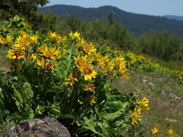 arrow-leaf balsamroot (Balsamorhiza sagittata) [Hobart Bluff Trail, Cascade-Siskiyou National Monument, Oregon]