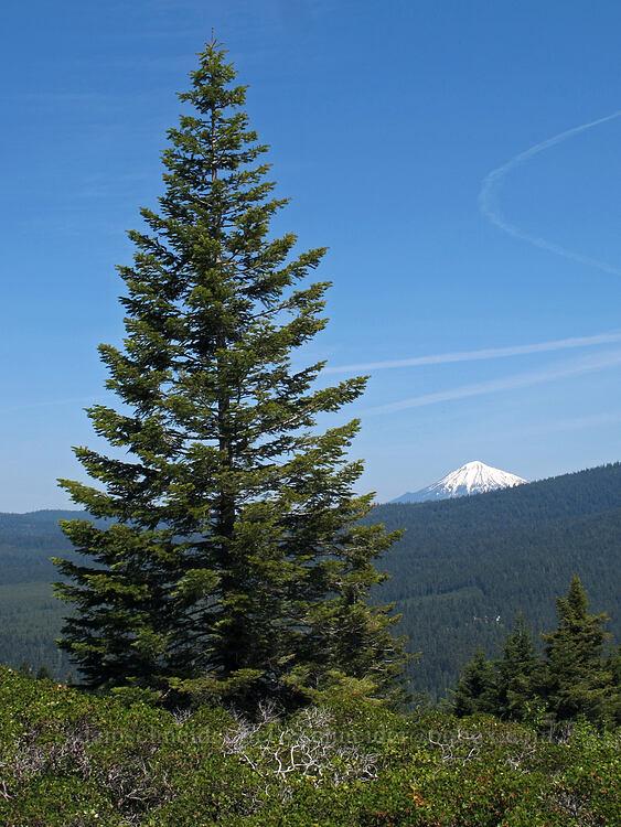 fir tree & Mt. McLoughlin [Hobart Bluff Trail, Cascade-Siskiyou National Monument, Oregon]