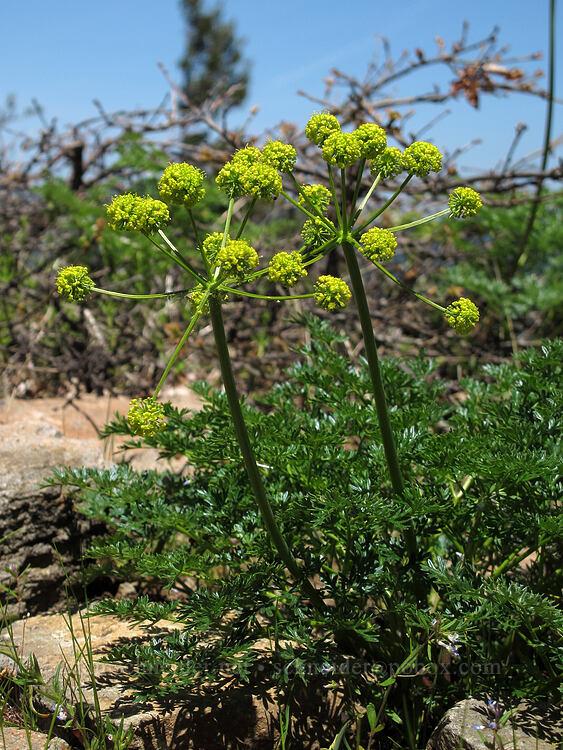 desert parsley (Lomatium sp.) [Hobart Bluff Trail, Cascade-Siskiyou National Monument, Oregon]