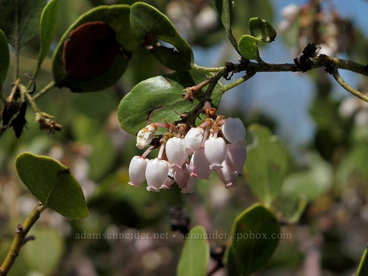 green-leaf manzanita flowers (Arctostaphylos patula) [Hobart Bluff Trail, Cascade-Siskiyou National Monument, Oregon]