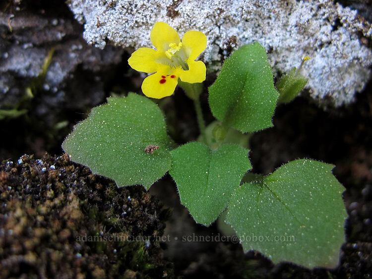 chickweed monkeyflower (Erythranthe alsinoides (Mimulus alsinoides)) [Hobart Bluff, Cascade-Siskiyou National Monument, Oregon]