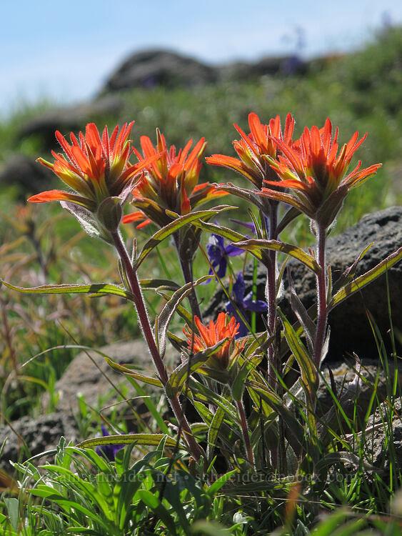 frosted paintbrush (Castilleja pruinosa) [Pacific Crest Trail, Soda Mountain Wilderness, Oregon]