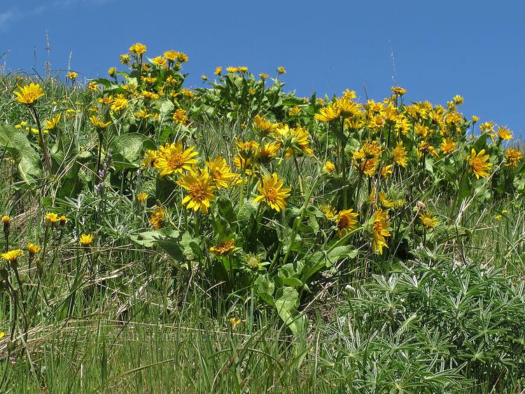 northwest balsamroot (Balsamorhiza deltoidea) [west of the PCT, Soda Mountain Wilderness, Oregon]