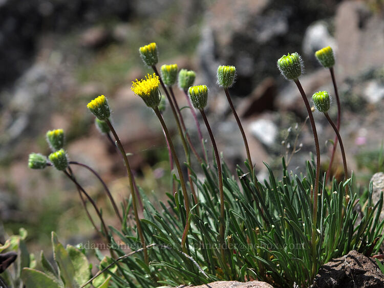 scabland fleabane (Erigeron bloomeri var. bloomeri) [west of the PCT, Soda Mountain Wilderness, Oregon]