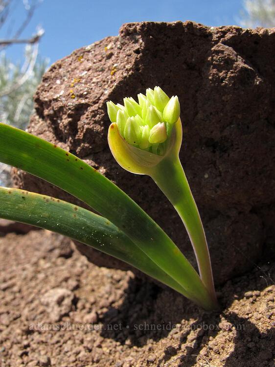 Siskiyou onion, budding (Allium siskiyouense) [west of the PCT, Soda Mountain Wilderness, Oregon]