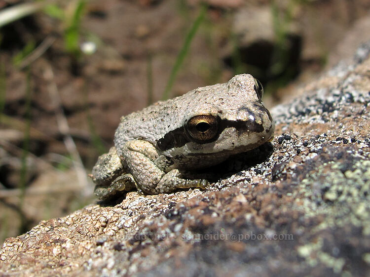 Pacific tree frog (Pseudacris regilla) [west of the PCT, Soda Mountain Wilderness, Oregon]