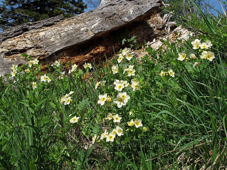 great polemonium (Polemonium carneum) [west of the PCT, Soda Mountain Wilderness, Oregon]