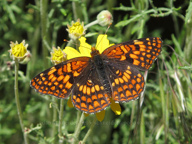 Hoffman's checkerspot butterfly on Oregon sunshine (Chlosyne hoffmanni, Eriophyllum lanatum) [Modoc Rim, Fremont-Winema National Forest, Oregon]