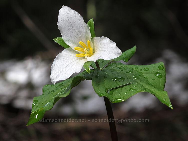 trillium & lingering snow (Trillium ovatum) [Forest Road 5810, Deschutes National Forest, Oregon]