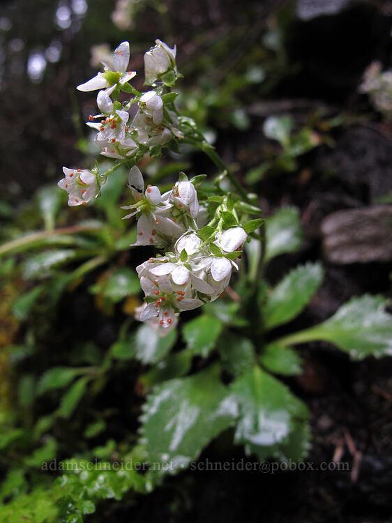 rusty-hair saxifrage, wet (Micranthes rufidula (Saxifraga rufidula)) [Salt Creek Falls, Willamette National Forest, Oregon]