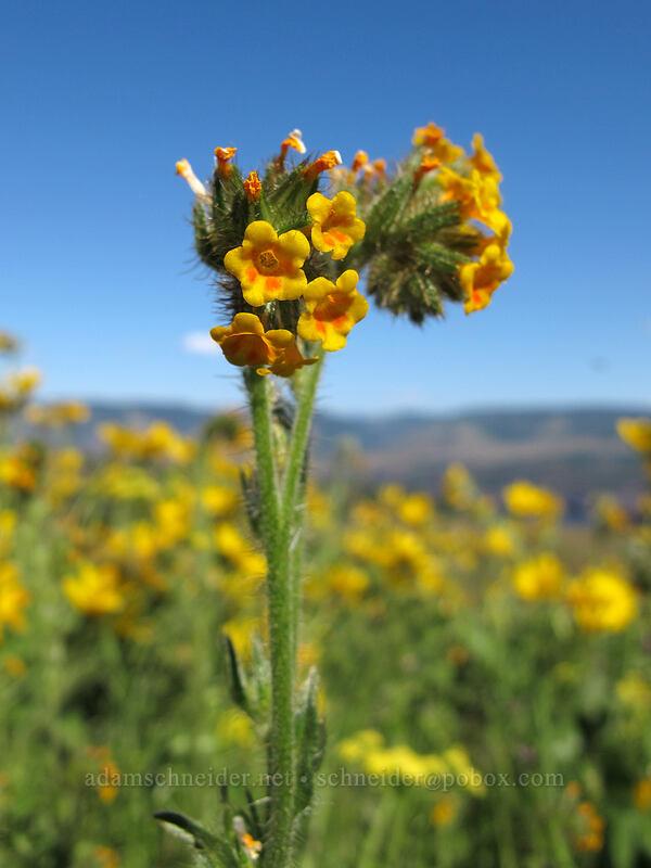 fiddleneck (Amsinckia sp.) [Tom McCall Point Trail, Wasco County, Oregon]