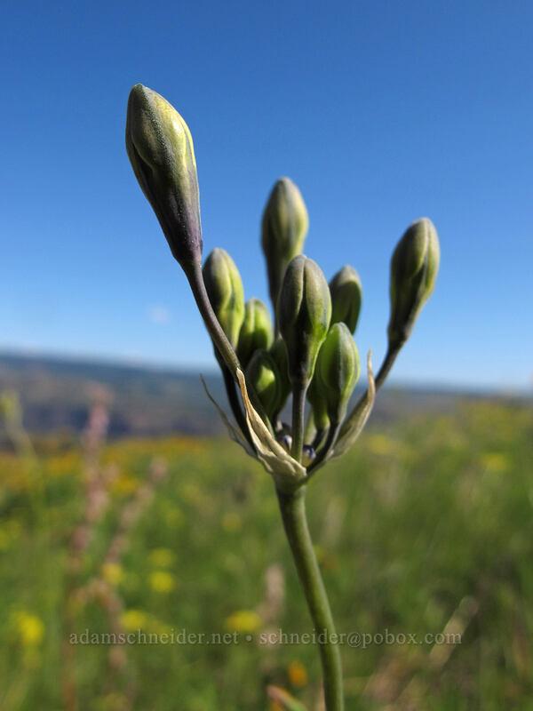 bi-colored cluster lily, budding (Triteleia grandiflora ssp. howellii) [Tom McCall Point Trail, Wasco County, Oregon]
