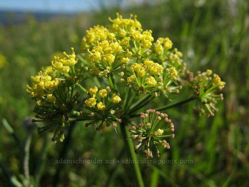 nine-leaf desert parsley (Lomatium triternatum var. triternatum) [Tom McCall Point Trail, Wasco County, Oregon]