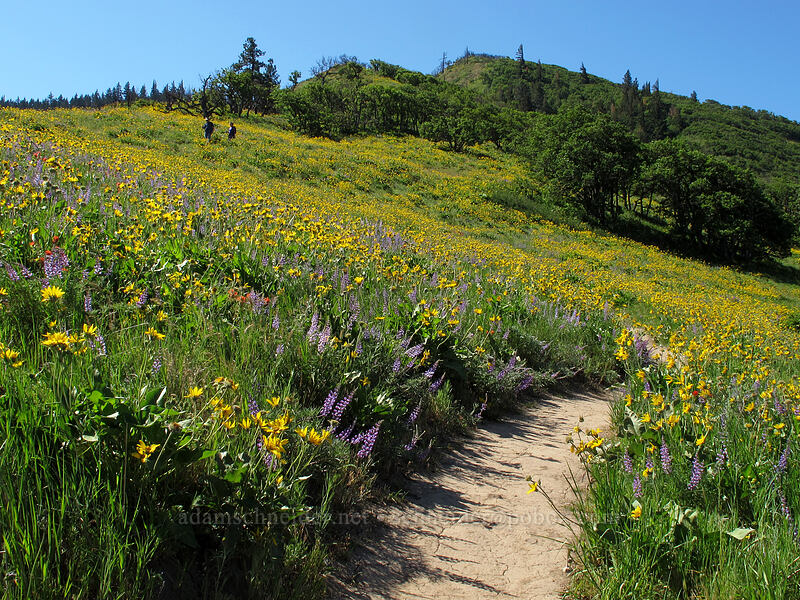 balsamroot & lupine (Balsamorhiza careyana, Lupinus latifolius) [Tom McCall Point Trail, Wasco County, Oregon]