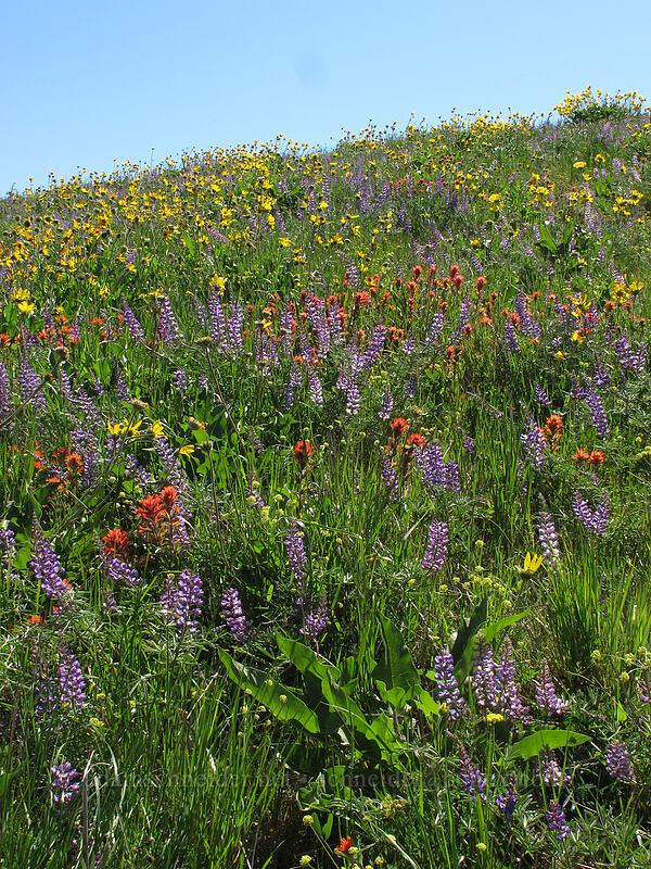 balsamroot, lupine, & paintbrush (Balsamorhiza careyana, Lupinus latifolius, Castilleja hispida) [Tom McCall Point Trail, Wasco County, Oregon]