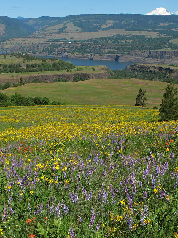 balsamroot, lupine, & paintbrush (Balsamorhiza careyana, Lupinus latifolius, Castilleja hispida) [Tom McCall Point Trail, Wasco County, Oregon]