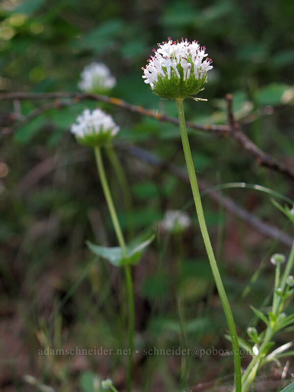 white plectritis (Plectritis macrocera) [Tom McCall Point Trail, Wasco County, Oregon]