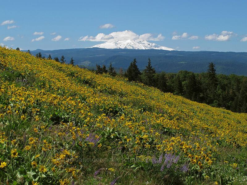 balsamroot, lupine, & Mt. Hood (Balsamorhiza careyana, Lupinus latifolius) [Tom McCall Point Trail, Wasco County, Oregon]