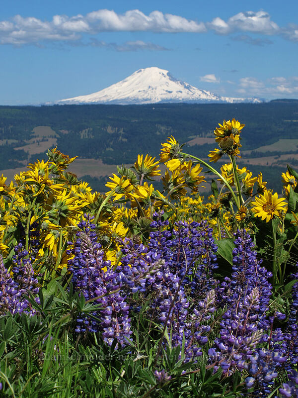 balsamroot, lupine, & Mt. Adams (Balsamorhiza careyana, Lupinus latifolius) [Tom McCall Point, Wasco County, Oregon]