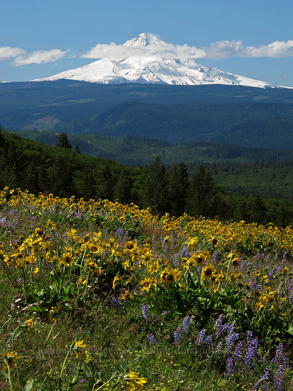balsamroot, lupine, & Mt. Hood (Balsamorhiza careyana, Lupinus latifolius) [Tom McCall Point, Wasco County, Oregon]