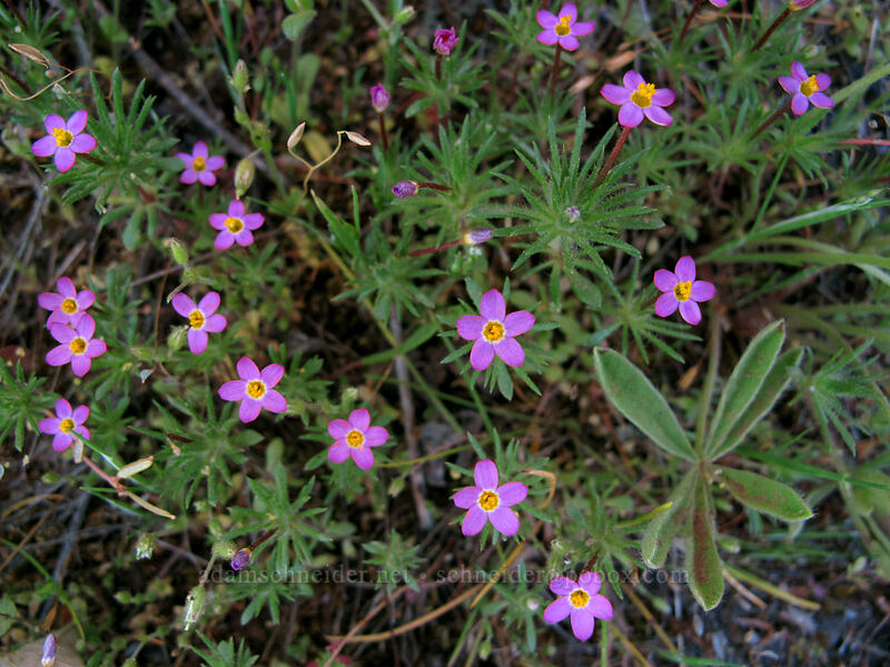 baby stars (Leptosiphon bicolor (Linanthus bicolor)) [Tom McCall Point Trail, Wasco County, Oregon]